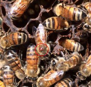 varroa on bee
