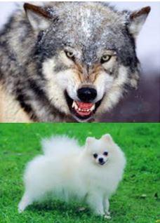 wolf-pomeranian